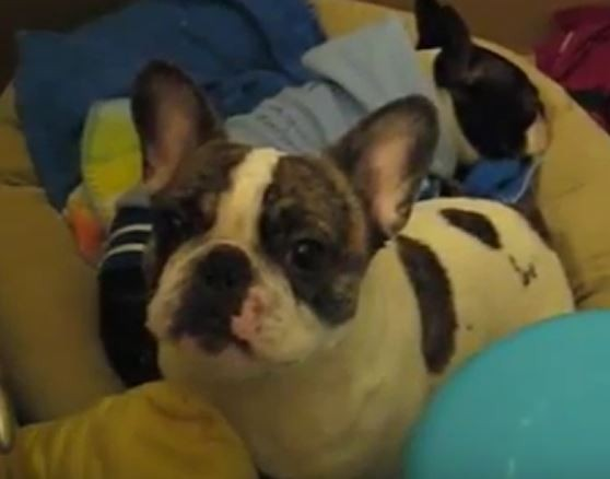 angry frenchie