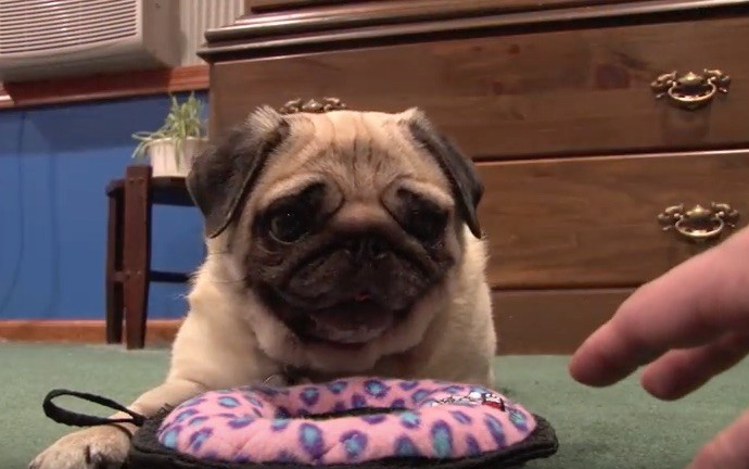 Pug not sharing toy