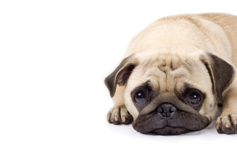 pug with funny facial expression