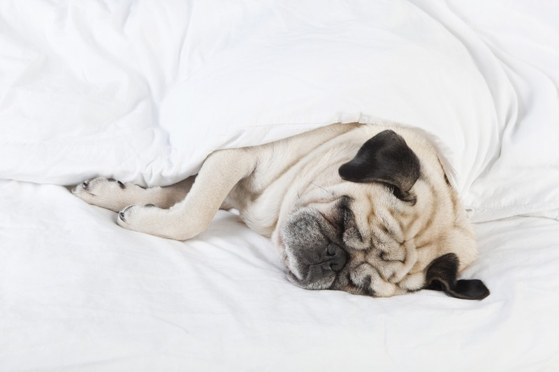 pug sleeping in a bed