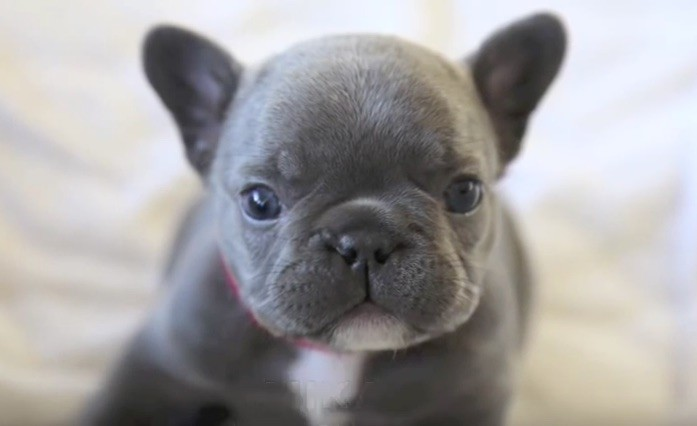 blue baby frenchie