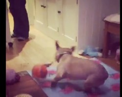 (VIDEO) This Frenchie FREAKS OUT Over His Toy and it's Hysterical!