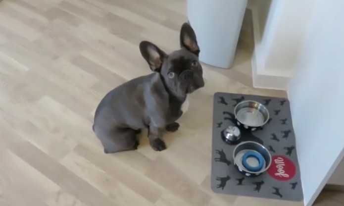 Frenchie wants dinner