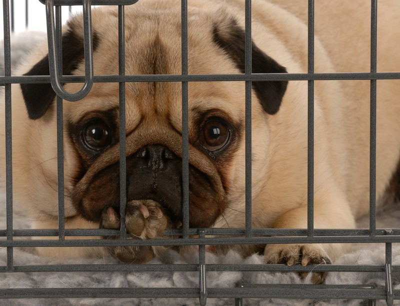 pug in kennel
