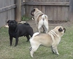 (Video) 3 Pugs Charm in to Bark and the Chorus They Create is Fantastic!