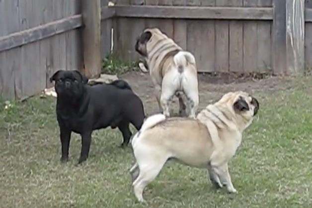 pug trio barking