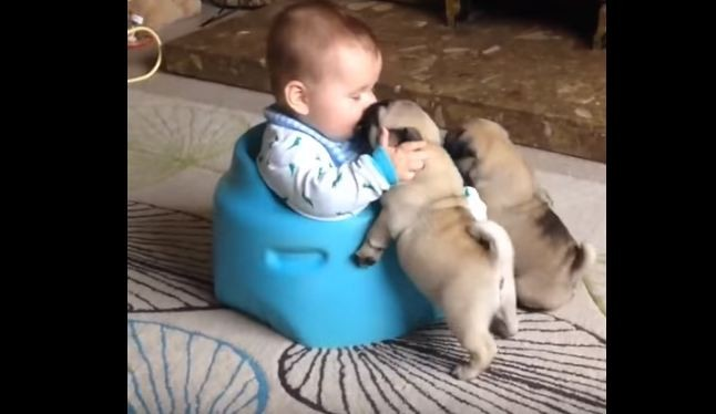 Pug puppies and baby