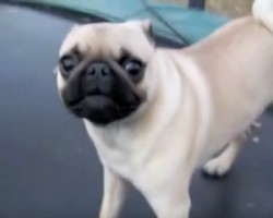 (Video) This Psycho Pug on a Trampoline Has Us Dying of Laughter. So. Much. Energy!! LOL!