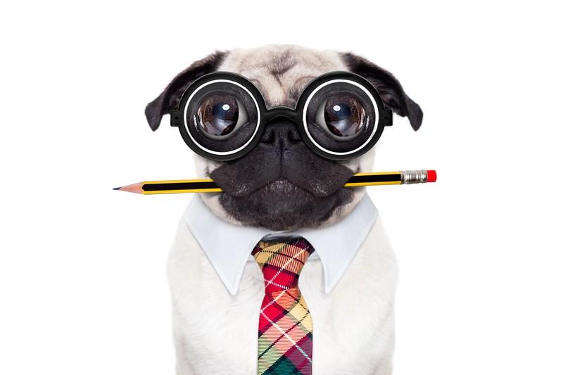 smart pug