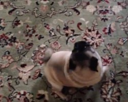 (Video) This Pug LOVES to Dance for Breakfast! Let's Join Her Dance Party!