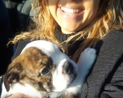 (Video) Franklin the Bulldog Puppy is Stealing Hearts Everywhere!