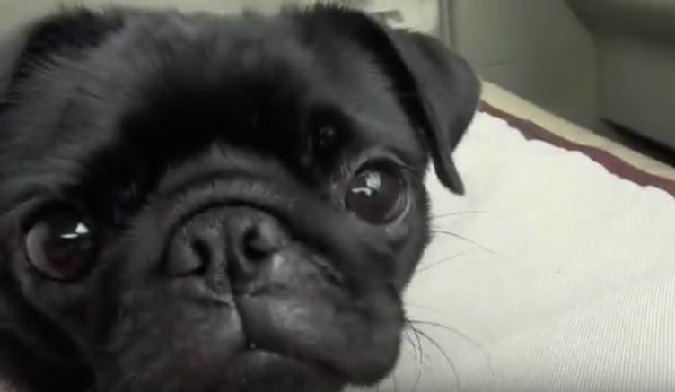 Pug pup car ride