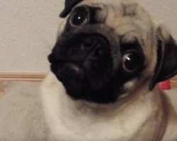 (Video) Pug is Ecstatic When Mom Talks to Her. Now How She Playfully Responds Back…