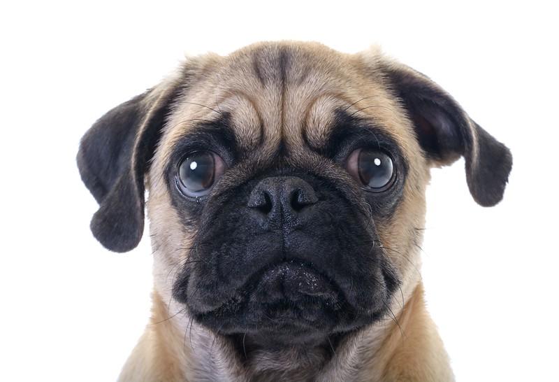 deaf pug