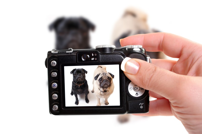 camera taking pictures of pugs