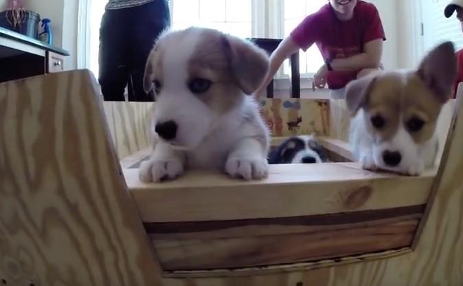 Corgi puppies at georgia