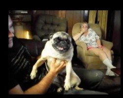 (Video) This Pug is Pretty Upset. The Crazy Sounds She Makes? OMG!