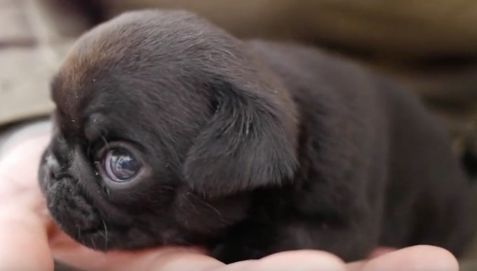 (Video) Get Ready to Die a Little Inside While Seeing Tiny Pug Sit in Her Mom's Hand!