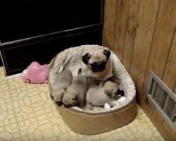 (Video) Pug Puppies Love Hanging Out With Mom. How They Show Her Unconditional Love? I Can't Stop Smiling!