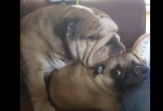 (Video) This Bulldog Thinks a Pug is Her Pillow. Now Watch This Adorable Cuddle Fest!
