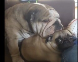 (Video) This Bulldog Thinks a Pug is His Pillow. Now Watch This Super Cute Cuddle Fest!