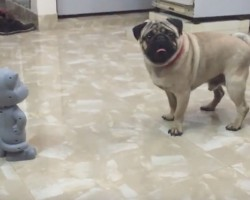 """(Video) Pug Encounters a Talking Tom. How He Says """"You Can't Get Me?"""" Prepare to ROFL!"""