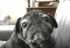 (Video) This Elderly Pug is Stealing Everyone's Heart. He's So Precious!