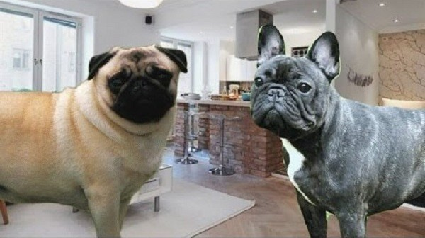 differences between bulldogs and pugs Pug colors pugs are thought to have been originated in the country of china to adorn royalty in the 16th and 17th centuries were brought to europe through the neatherlands to england, and then spread to italy, spain, france, and throughout other european countries.