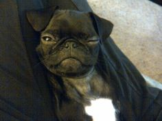 Stella the Pug Winks