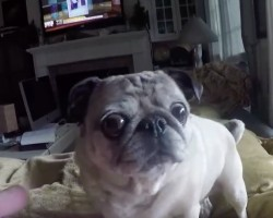 (Video) This Pug Adores Bacon. Now Watch Her Eyes When Dad Gives Her a Piece…