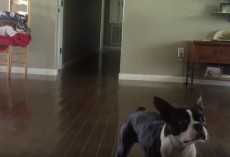 (Video) Boston Terrier Pulls off Back Flips Like a Pro! Incredible!