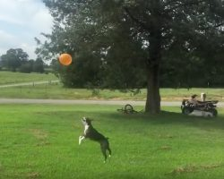 """(Video) This Boston Terrier Knows How to Fly High! Watch How He Plays """"Keepy-Up"""" With a Balloon!"""