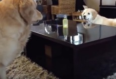 (Video) Golden Retriever Puppy Outsmarts His Older and (Sometimes) Wiser Brother. How He Does It? I'm Impressed!