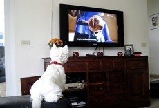 (Video) This Westie Loves Watching TV. Just How Intent She is on Watching THIS on the Screen? OMG!