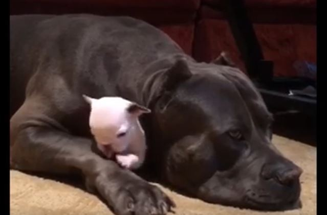protective dog and pup