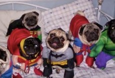 (Video) These Pugs in Halloween Costumes Are too Cute! Get Ready to be Inspired for This Spooktacular Holiday!