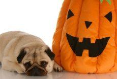 Is it Okay to Feed My Dog Pumpkin During Halloween?