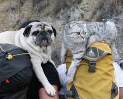 A Pug and Cat Are Inseparable and Love Going on Adventures Together With Their Dads!