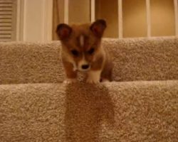 (Video) A Puppy Named Butterball is Quite Frightened to Go Down the Stairs. The Heartbreaking Noises He Makes? Oh My Goodness!