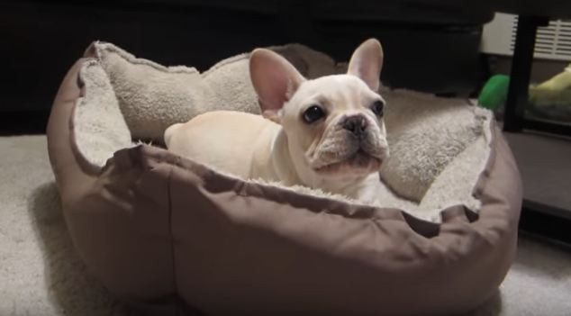 frenchie-in-his-bed