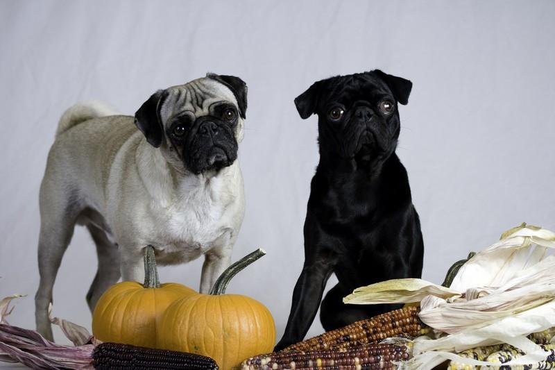 pug-thanksgiving