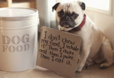 10 Ill-Behaved Pugs Who Just Got Shamed By Their Owners and it's Hilarious!