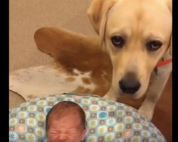 (Video) Newborn Baby Starts Crying. How a Lab Calms Her Down? Aww, I'm Melting!