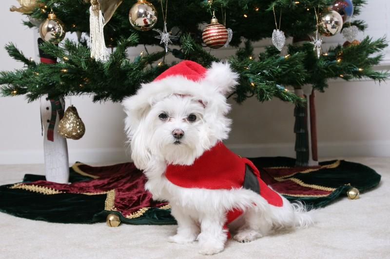 Maltese under Christmas tree