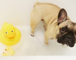 "(Video) This Frenchie Puppy's Very First Bath Makes Me Go ""Aww"" and Then ""Aww"" Some More!"