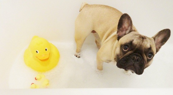 frenchie-and-rubber-duck