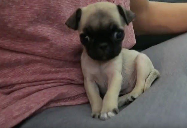 video watching this pug puppy learn his first trick is
