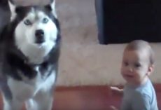 (Video) Mom Catches Her Baby Talking to Their Husky. Their Conversation? Unbelievable!