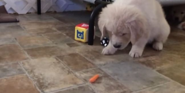 puppy-and-carrot