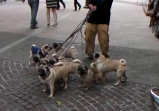 8 pugs